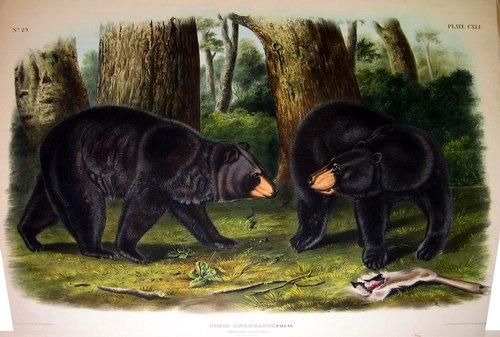 audubon-06_blackbear-500